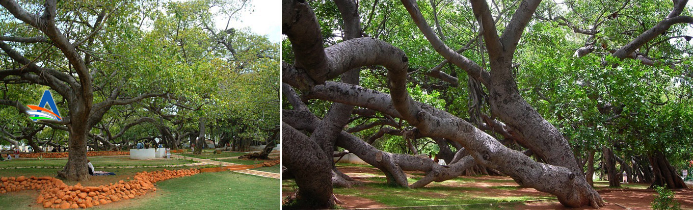 Pillalamarri Banyan Tree Mahaboobnagar District