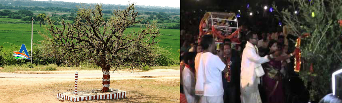 Jammi Vruksham A very powerful tree with miraculous power